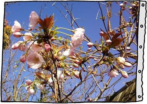蔵八重桜4.jpg