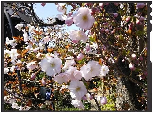 蔵八重桜1.jpg