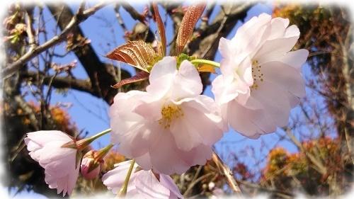蔵八重桜3.jpg