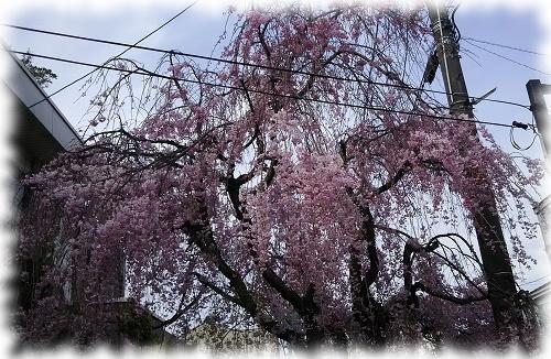 パソコン教室裏枝垂れ桜2.jpg