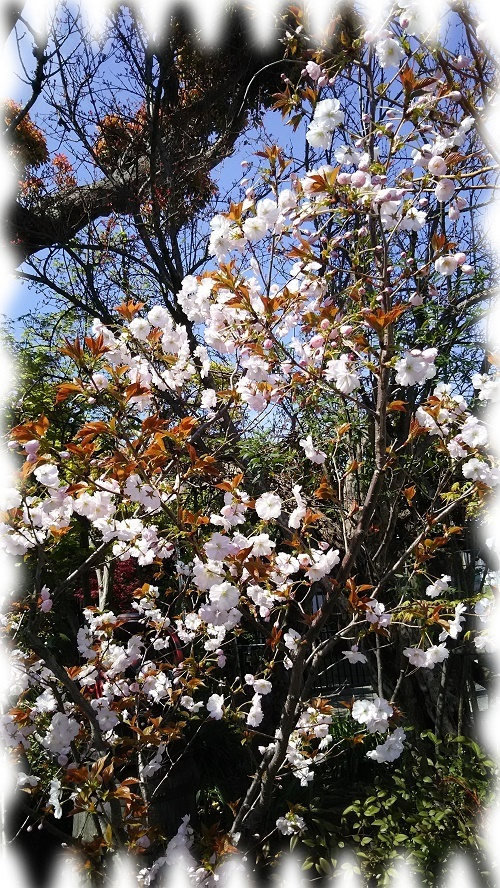 蔵八重桜2.jpg